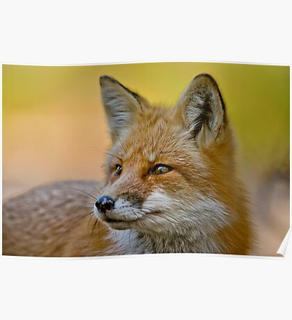 Red Fox Poster