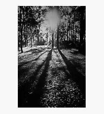 Jarrah Giants Photographic Print