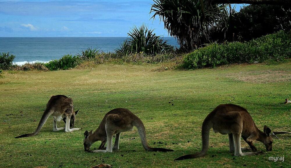 Three Kangaroos in the Yuraygir National Park by myraj