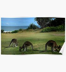 Three Kangaroos in the Yuraygir National Park Poster