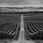 Yealands Vineyard by srhayward