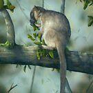 Tree Kangaroo by owen  pointon