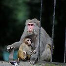 A nursing monkey in Manali by MichaelBr