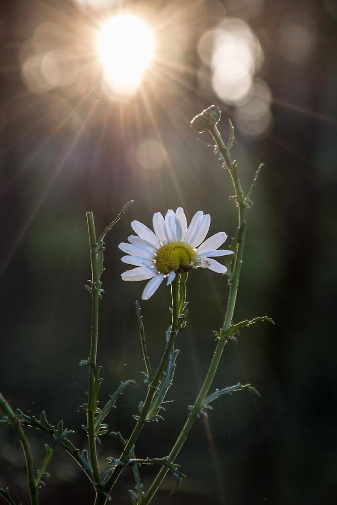 Rooster Daisy by GalaxyMcNeill