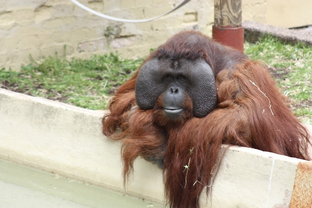 Orangutan at Dudley Zoo by JEmerald
