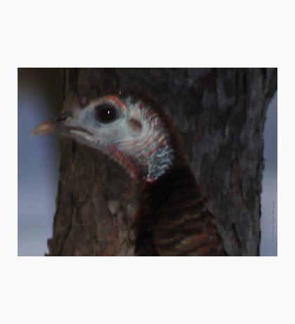 Portrait of a Wisconsin Wild Turkey Photographic Print
