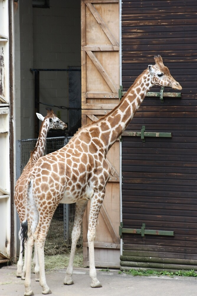 Giraffes at Dudley Zoo by JEmerald