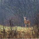 Sentry - White-tailed deer by Jim Cumming