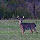 September Deer - White-tailed deer by Jim Cumming