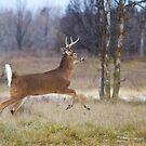 Deer Run - White-tailed deer by Jim Cumming