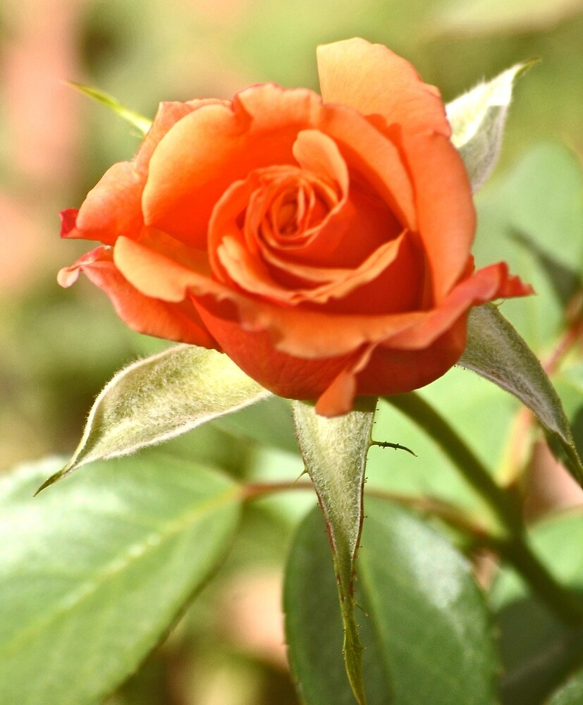 PEACHES AND CREAM ROSE by JAYMILO