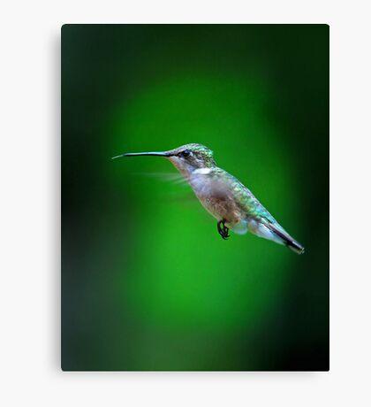 Tongue and Cheek - Ruby-throated hummingbird Canvas Print