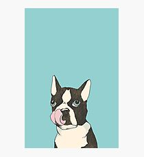 Hungry Boston Terrier (Black) Photographic Print