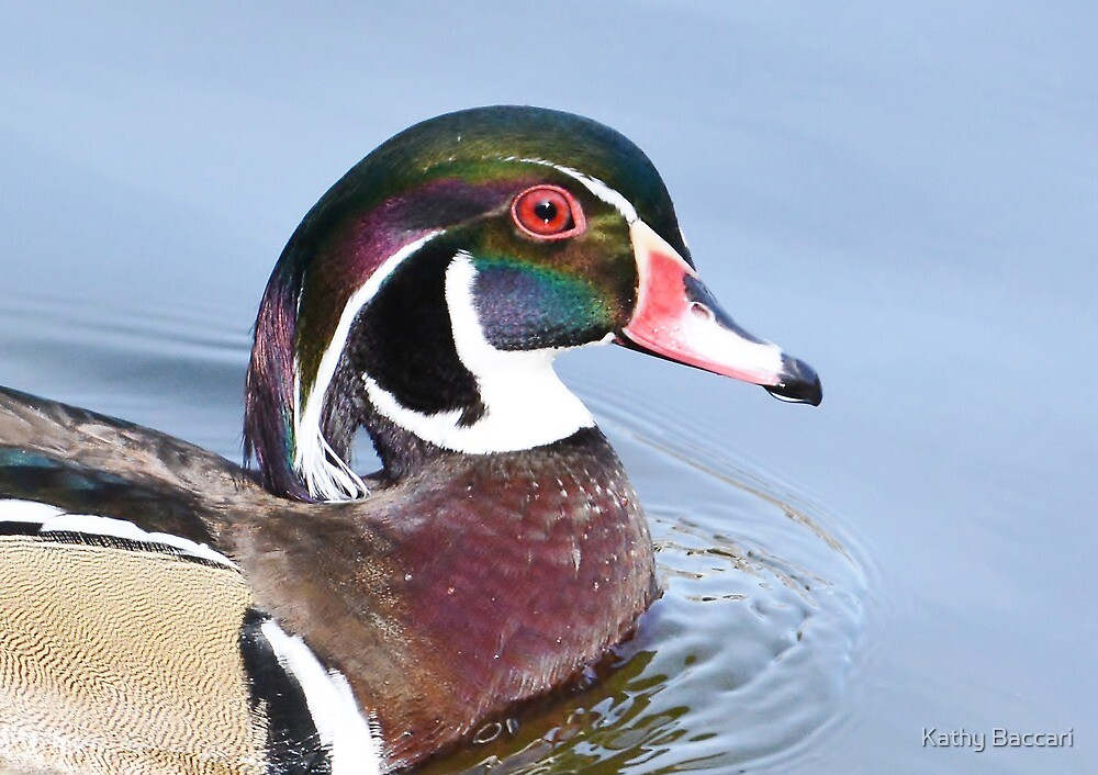 Wood Duck Portrait by Kathy Baccari
