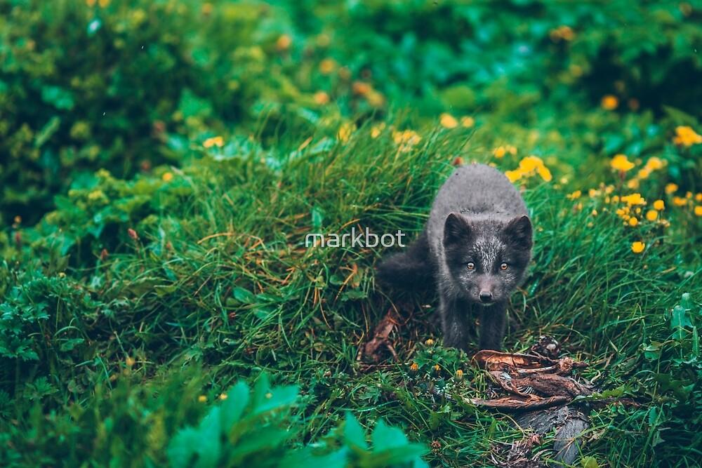 Icelandic fox cub by markbot