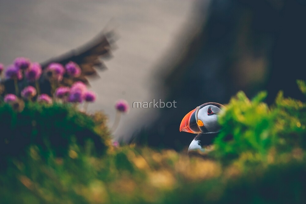 Puffin in Iceland by markbot
