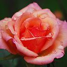 Rose in the Rain by Ronald Hannah