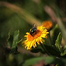 Green Bottle Fly by SylviaHardy