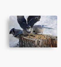 Blue Jays feeding time Canvas Print