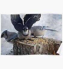 Blue Jays feeding time Poster