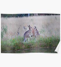 Australian Bush Kangaroo Poster