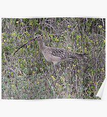 Long billed Curlew Poster