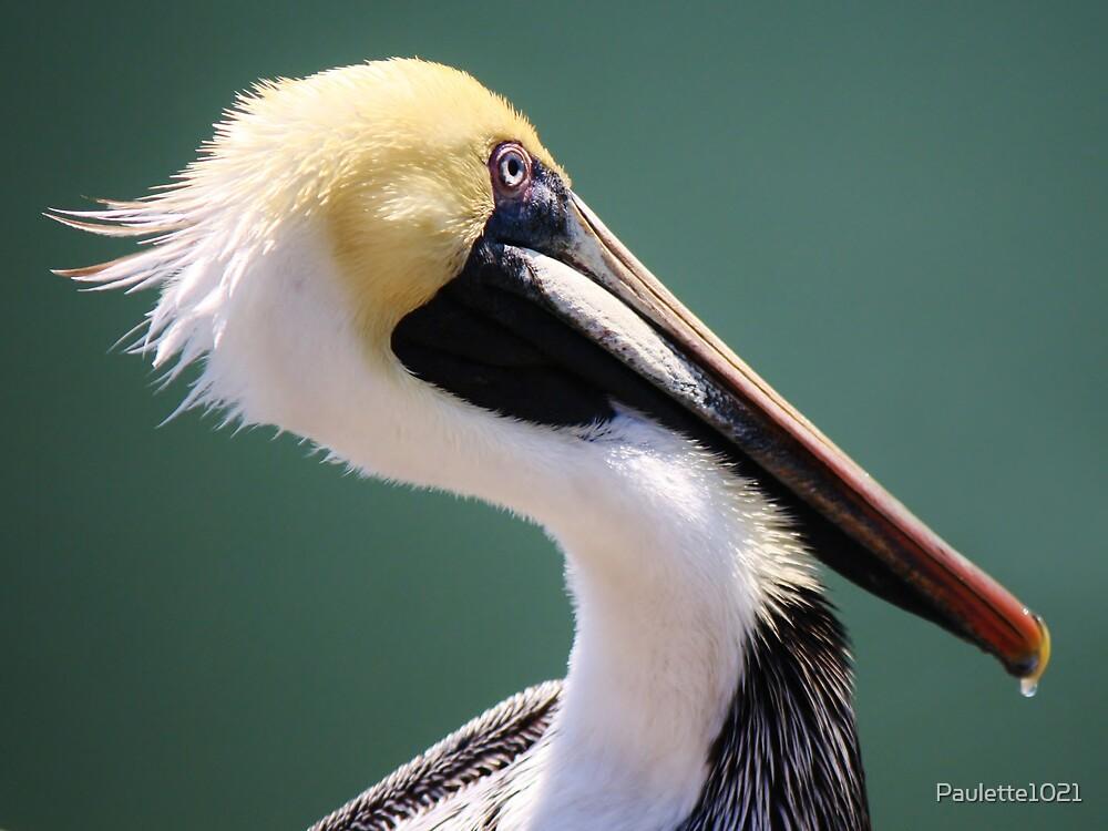 Juvenile Brown Pelican by Paulette1021
