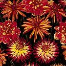 Bright orange and yellow Dahlias by Martyn Franklin