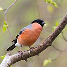 Male Bullfinch (Pyrrhula-pyrrhula) by chris2766