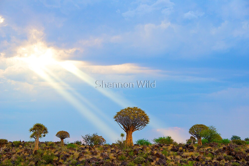 Quiver Tree Forest, Namibia, Africa by Shannon Wild