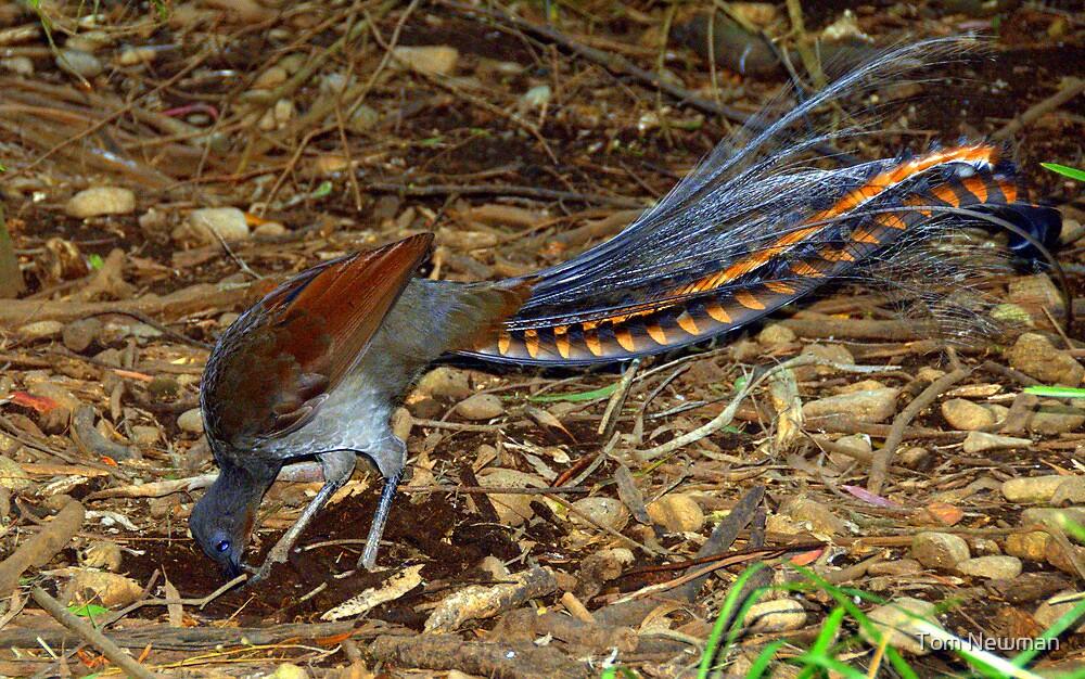 Superb Lyrebird by Tom Newman