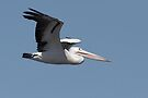 Australian Pelican ~ Natures Own 747 by Robert Elliott