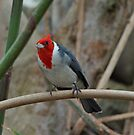 Red Crested Cardinal by Sandy Keeton