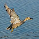 Gadwall Take-off by MikeSquires
