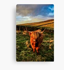 Highland Cow in the Peak District Canvas Print