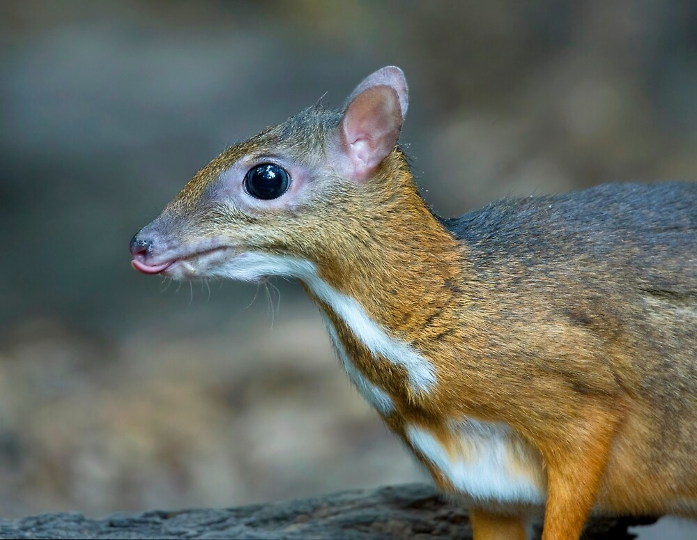 Lesser Mouse Deer by Rob Drummond