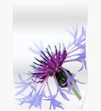Perennial Cornflower Poster