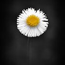 Erigeron Longipes DC. by Pandrot