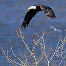 bald eagle in the wind by George  Close