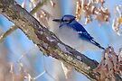 Blue Jay by NatureGreeting Cards ©ccwri