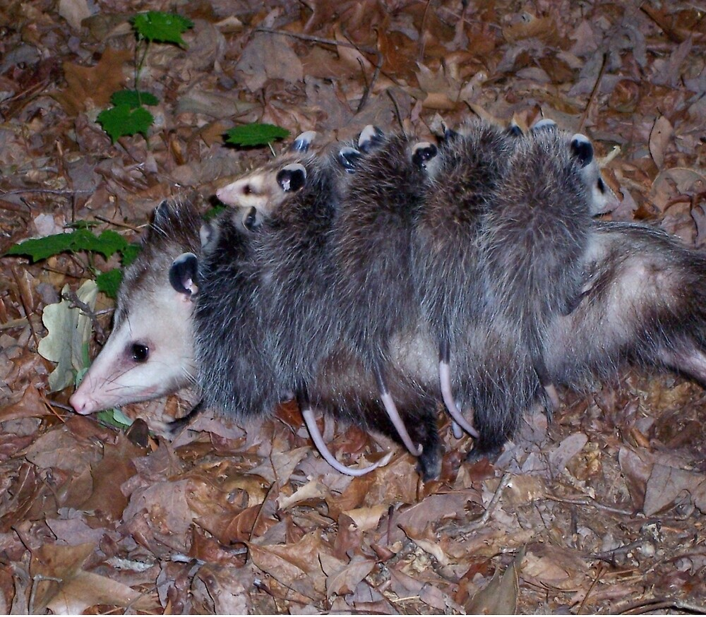 Mamma possum takes her brood for a ride by Robert Angier