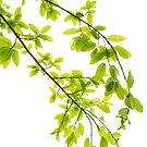 Green leaves in sunlight background by kawing921