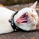 Cat yawning, close-up shot. by kawing921
