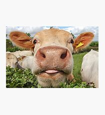 Cow, Funny, Amusing, Portrait Photographic Print