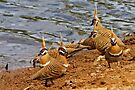 Spinifex Pigeons by Robert Elliott