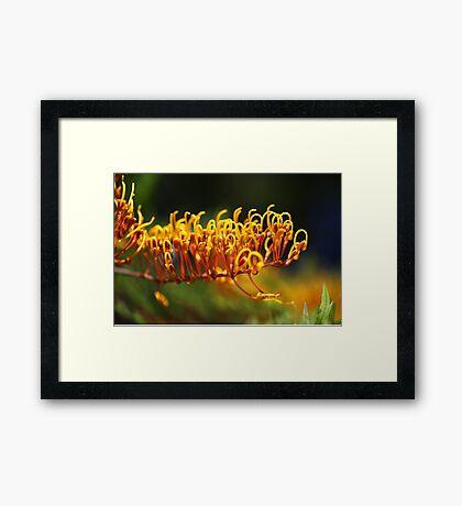 Grevillea  Robusta, Silky Oak Framed Print