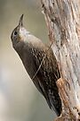 White-throated Treecreeper by Robert Elliott