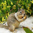 Squirrel at Carmel Beach, California by K D Graves Photography
