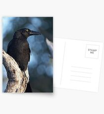 Pied Currawong  Postcards