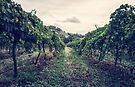 A Vineyard by yolanda